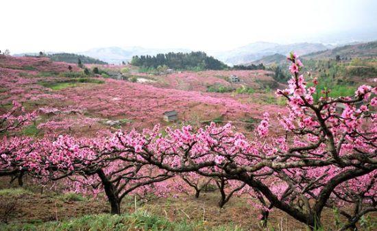 2016年桃花红遍龙泉山。金士廉 摄