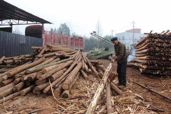 联户采伐提高了村民收入(雨城宣传部 供图)