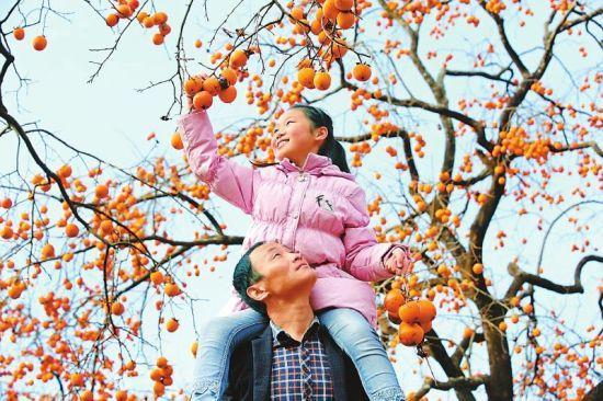 图为近日,大朝乡牛头村第二届柿子节采摘现场。高志农摄