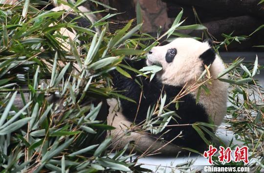 """网红大熊猫""""奇一""""在享用美食。 安源 摄"""