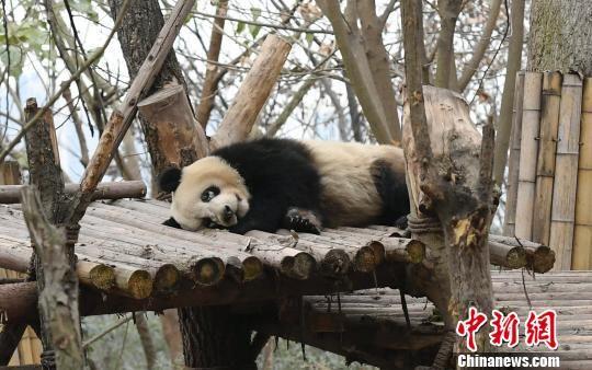 """大熊猫""""小雅""""在睡觉。 安源 摄"""