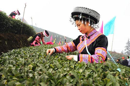 苗族姑娘采早茶。申勇摄