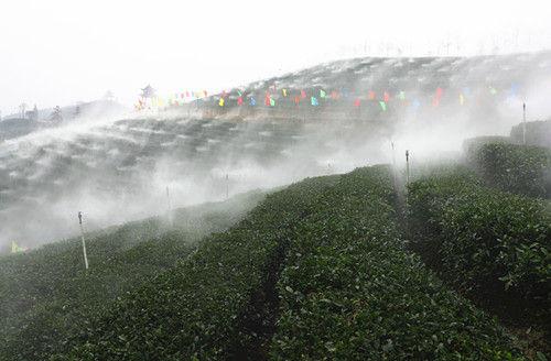 九龙山茶园。申勇摄