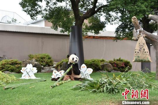 """大熊猫""""永明""""近照。 钟欣 摄"""