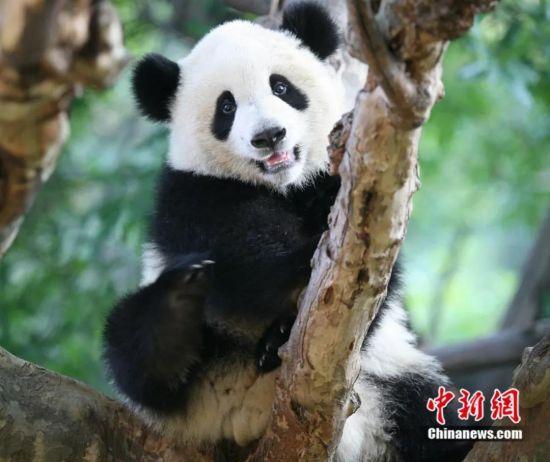 可爱的大熊猫。成都市政府新闻办供图