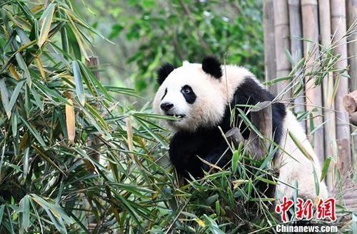 今年内将在四川放归一只大熊猫图片 50679 500x328