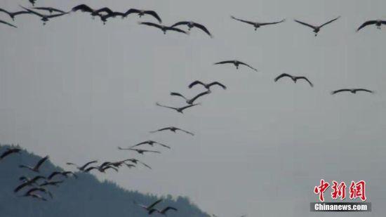 瓦屋山现国家一级保护动物黑颈鹤群