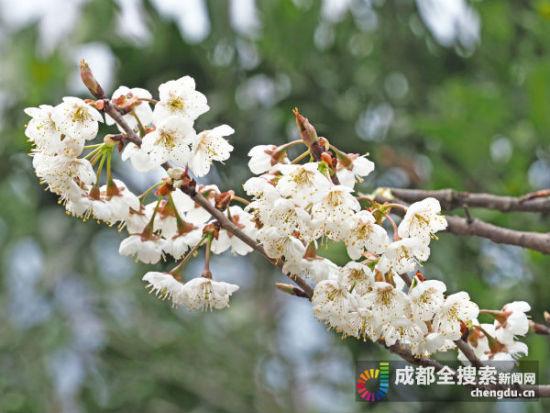 蒲江樱桃花已盛开
