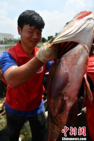 6月13日,电子科技大学第二届东湖捕鱼节在云顶国际博彩举办。图为一条被捕捞上岸的大鱼。 张浪 摄