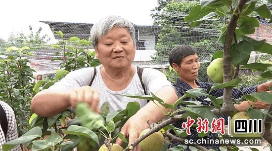"""曹家鎮的果農采摘""""六月雪""""。熊曉華 攝"""