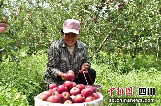 """""""摇钱果""""挂满枝头_""""苹果之乡""""欢迎八方来客"""