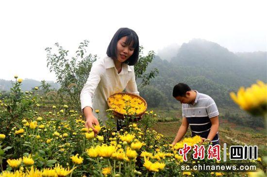 鎮村干部在幫忙采摘金絲皇菊。