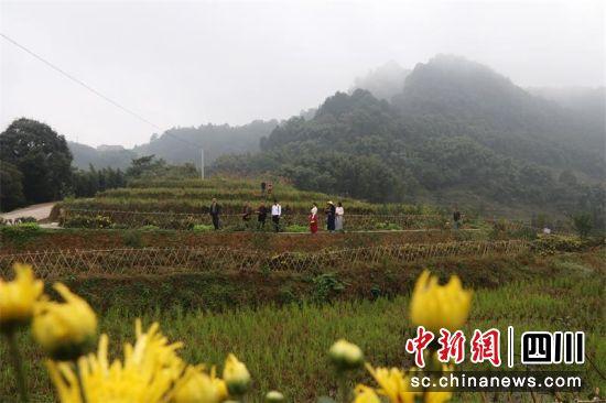 當地村民和鎮村干部在觀看金絲皇菊長。