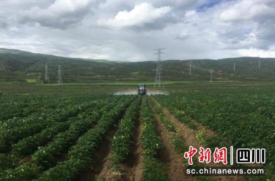 学巴底村种植的马铃薯。