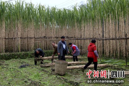 泸州江阳:又到甘蔗丰收季 江北