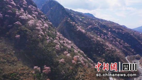 漫山遍野的野樱花迎春绽放。 谌子楷 摄