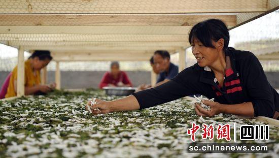 蓬安县兴旺镇黑白寺村蚕桑扶贫产业园,蚕农正在分拣僵蚕。刘永红 摄