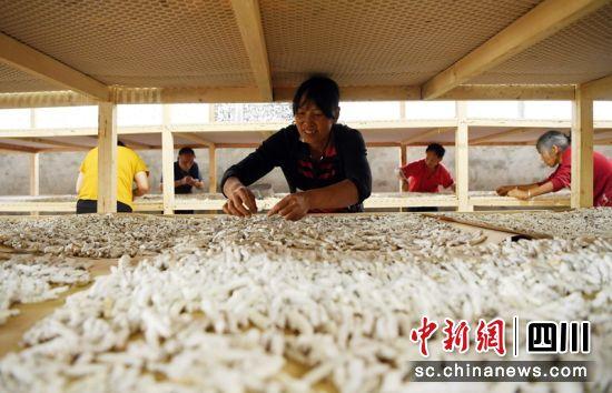 蚕农正在将分拣出的僵蚕摆顺调形。刘永红 摄