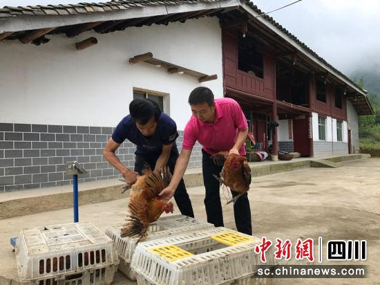 强远刚帮助村民销售土鸡。王森道 摄