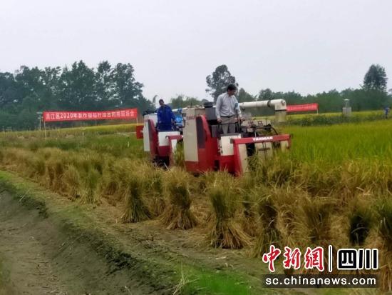 农户使用机械收割水稻。张建国 摄