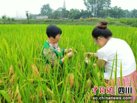 农户在田间检查水稻生长情况。张建国 摄