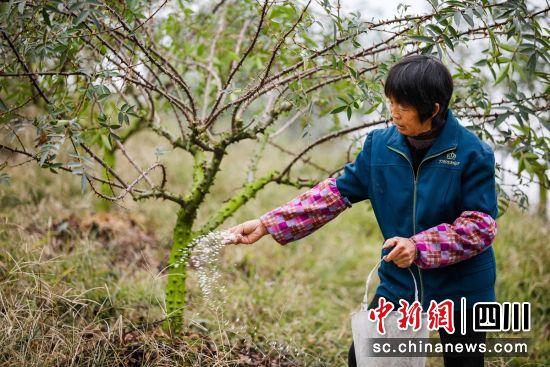 花椒种植现场(牟丽 供图)