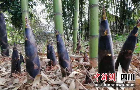 竹笋破土而出,进入采收期。 中江县委宣传部供图
