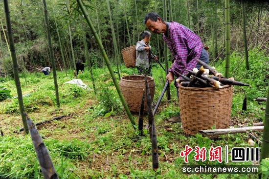 村民采收竹笋。 中江县委宣传部供图