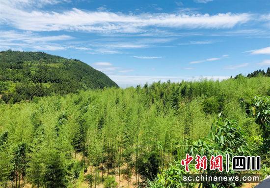 富兴镇观碑村的竹林。 中江县委宣传部供图