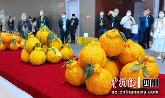 展馆内各种晚熟柑橘品种十分亮眼。记者刘忠俊摄