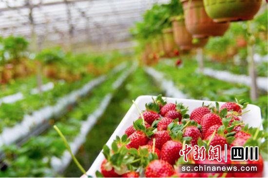 天府新区太平街道的草莓红了。范越 摄
