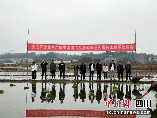 大安区水稻规范化栽培暨带药移栽现场会现场。刘佩雄 摄
