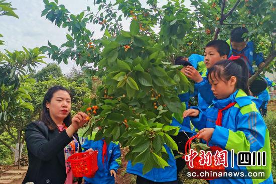 师生们在采摘自己种植的樱桃。苗志勇摄