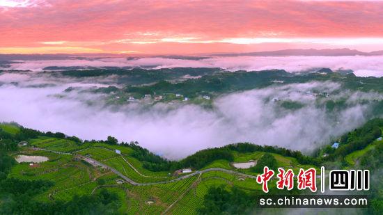 旺苍县木门三合现代农业园区黄茶园区的日出。高菠摄