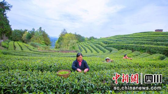 旺苍县米仓山茶园里,村民们采茶忙。陈加普摄