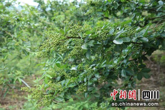 盐源县现有青花椒32.5902万亩,产值2.9856亿元。(盐源县委宣传部供图)
