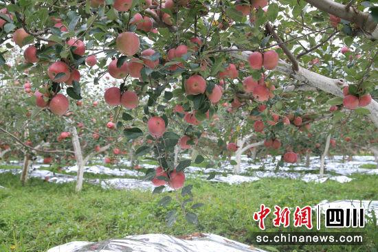 盐源苹果迎来丰收的季节。周光旭 摄