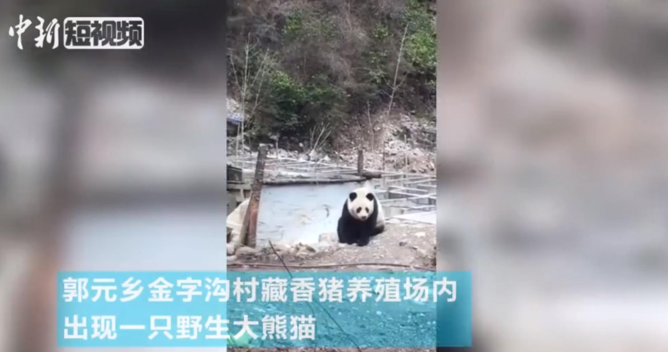 """一只野生大熊猫现身四川九寨沟 进村""""巡"""